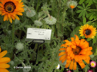 Cape daisy, flower show - Kyoto Botanical Gardens, Japan