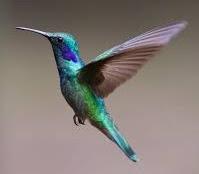 melatih kolibri makan kroto