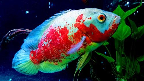Oscar Fish Tank Setup, Diet & Spawning