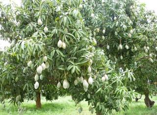 pohon mangga www.simplenews.me
