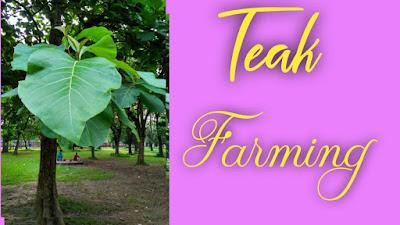 Teak Farming In Nepal