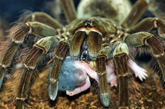 Maior Aranha do Mundo vive no Brasil-  Aranha Golias comedora de pássaros - Img 1