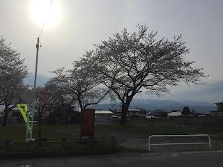 蕎麦屋の前の桜が満開になりました。(2016.04.13)