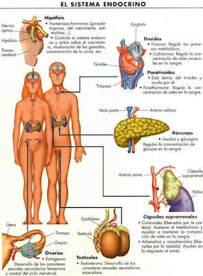 Dibujo del Sistema endocrino del ser humano a colores