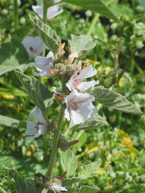 Marsh Mallow Althaea officinalis. Indre et Loire. France. Photo by Loire Valley Time Travel.