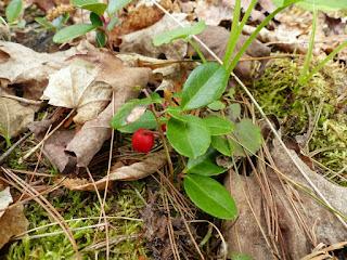 Gaulthérie couchée - Gaultheria procumbens - Gaulthérie du Canada