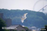 コサギの飛翔写真