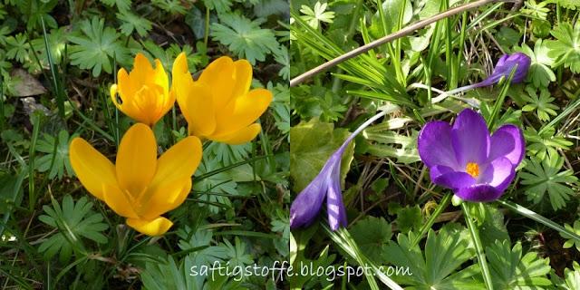 Anemone und Krokusse im Garten