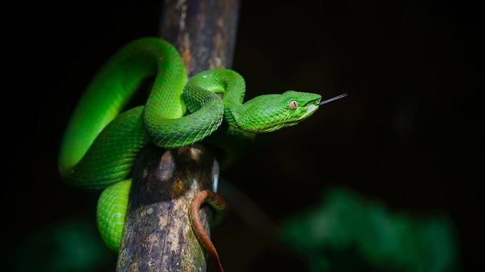 Papel de Parede Serpente Verde