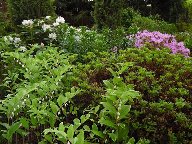 kokoryczka wielkokwiatowa i azalie japońskie