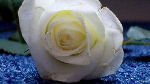 Witte roos op blauwe achtergrond.