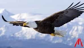 Cara Merawat Burung Elang Agar Tidak Stres dan Mengetahui Keunikan Burung Elang