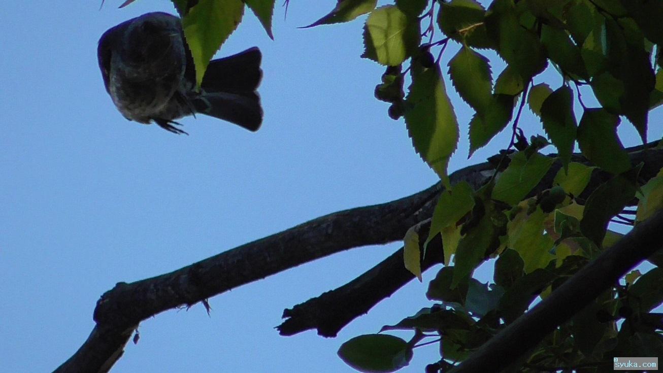 飛ぶヒヨドリ