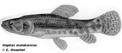 Tararira Hoplias malabaricus