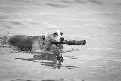 Beagledame beim Stock apportieren im Meer by Fotograf Michael Schalansky