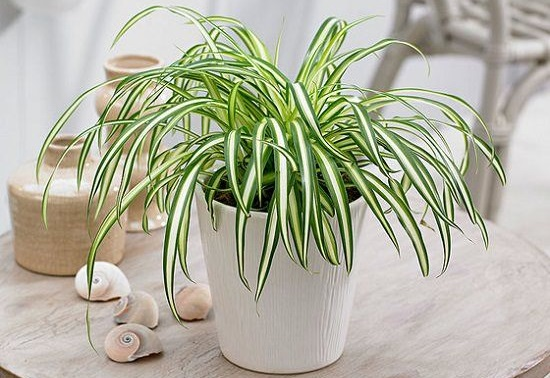 "Tanaman Indoor Spider plant ""Lili paris"""