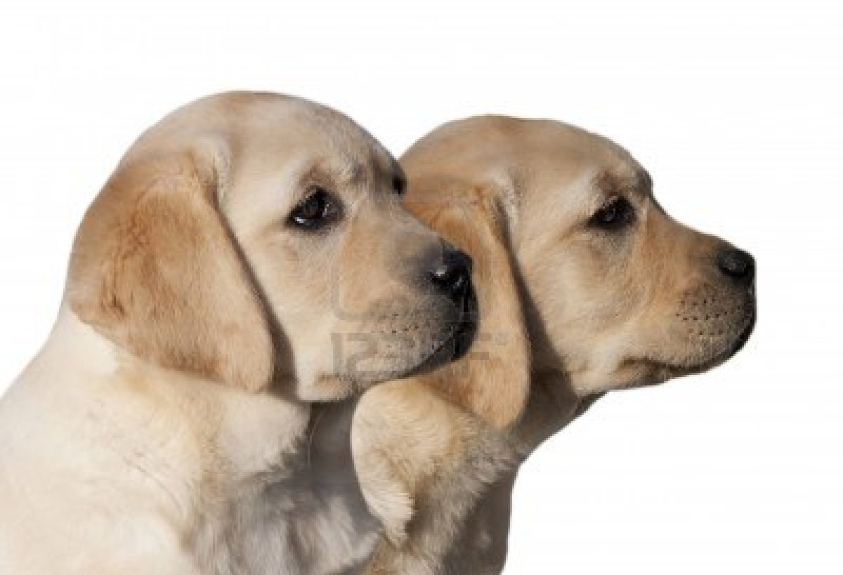 yellow lab dog - photo #25