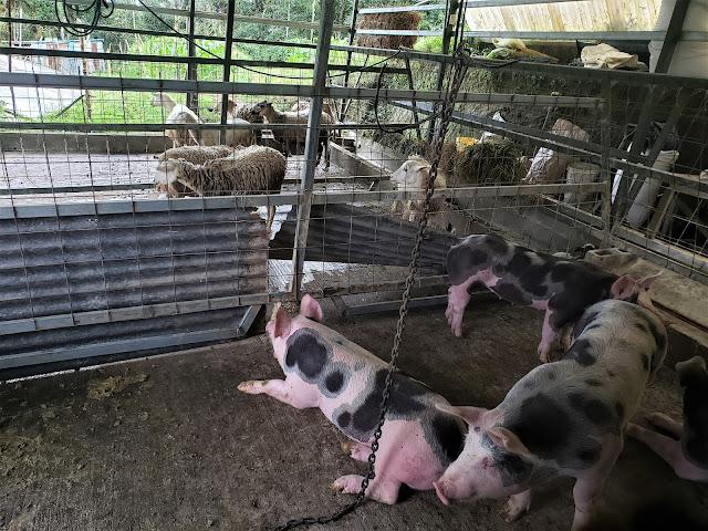 pigs ade costa rica