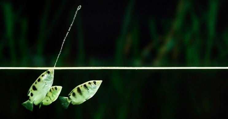 Okçu balığı küçük böceklere su tükürerek avlanan bir balık türüdür.