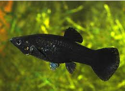 ciri Ikan Black Molly