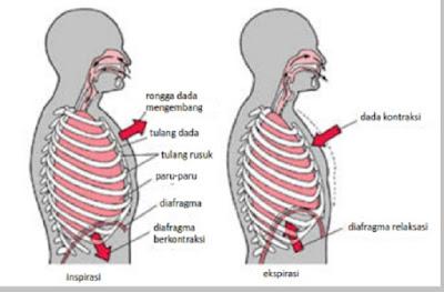 Pernapasan dada pada manusia - pustakapengetahuan.com