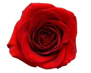 rose dream meaning, rose dream interpretation