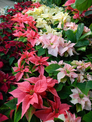 2015 Allan Gardens Conservatory Christmas Flower Show layers red pink white  poinsettias by garden muses-not another Toronto gardening blog