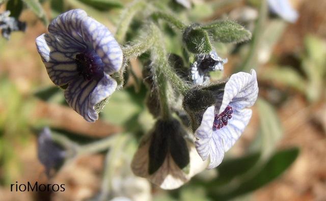 Tomentoso Cynoglosum creticum (Lengua de perro azul o viniebla azul)