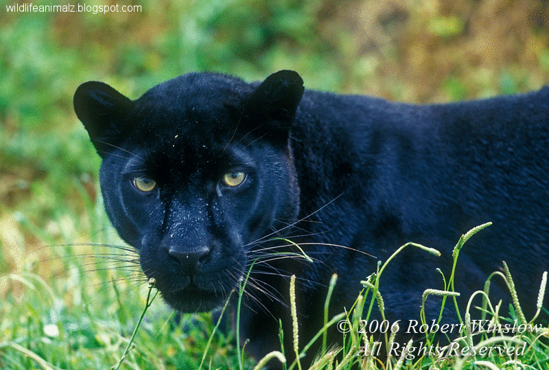 Black Leopard-Panther | The Wildlife - photo#16
