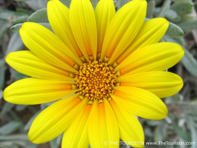 South Africa yellow flower wilderness beach the touristin dorothee lefering
