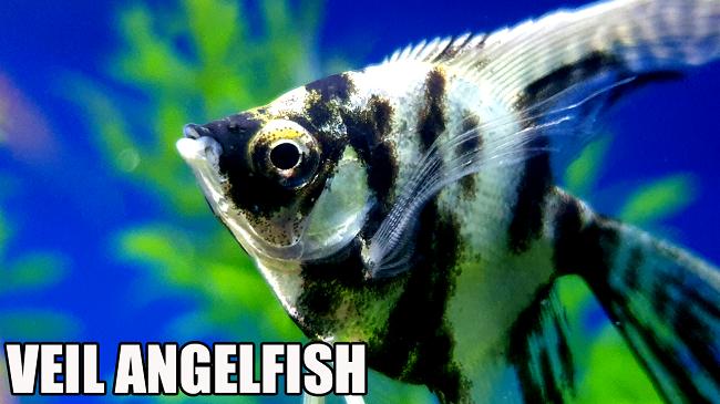 10 Best Angelfish For Freshwater Aquariums