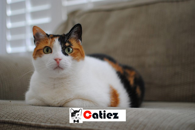 calico kittens - all you want to know about calico kittens