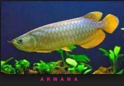 Gambar ikan arwana silver