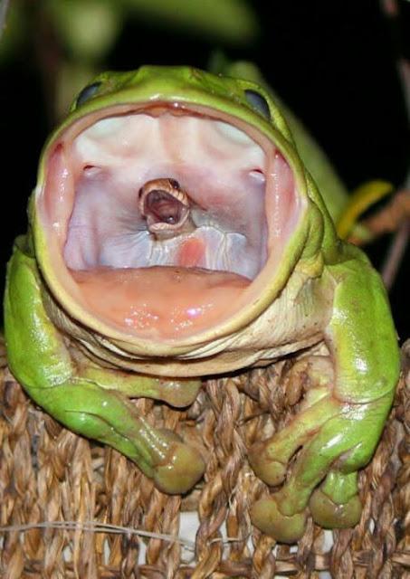 frog eats a snake