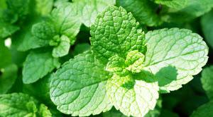 Segar dan Sehat Dengan 24 Manfaat Peppermint Oil