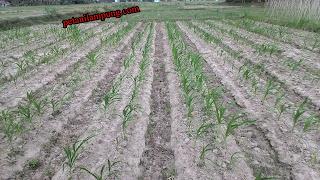 cara menanam jagung lengkap