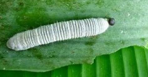 jenis ulat daun pisang