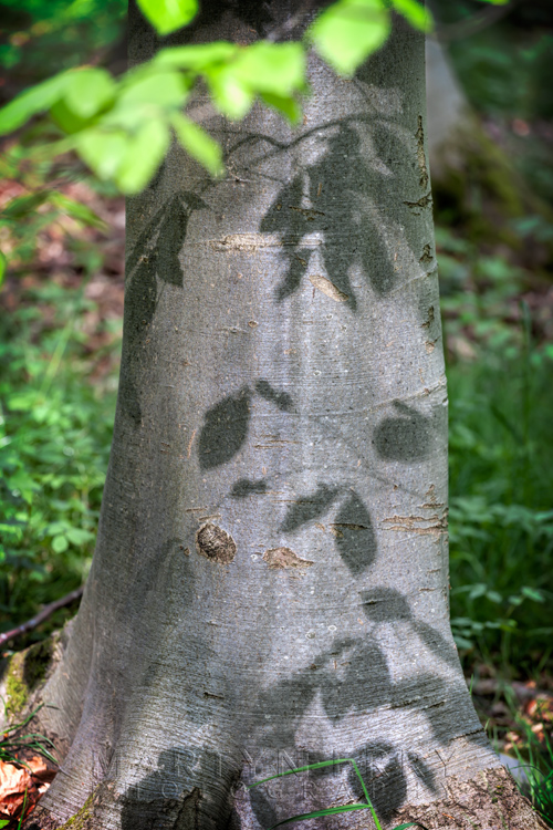 Spring leaves cast shadows on a tree trunk in the sun at Lynford Arboretum
