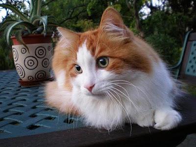Kucing Mix Dome Anggora