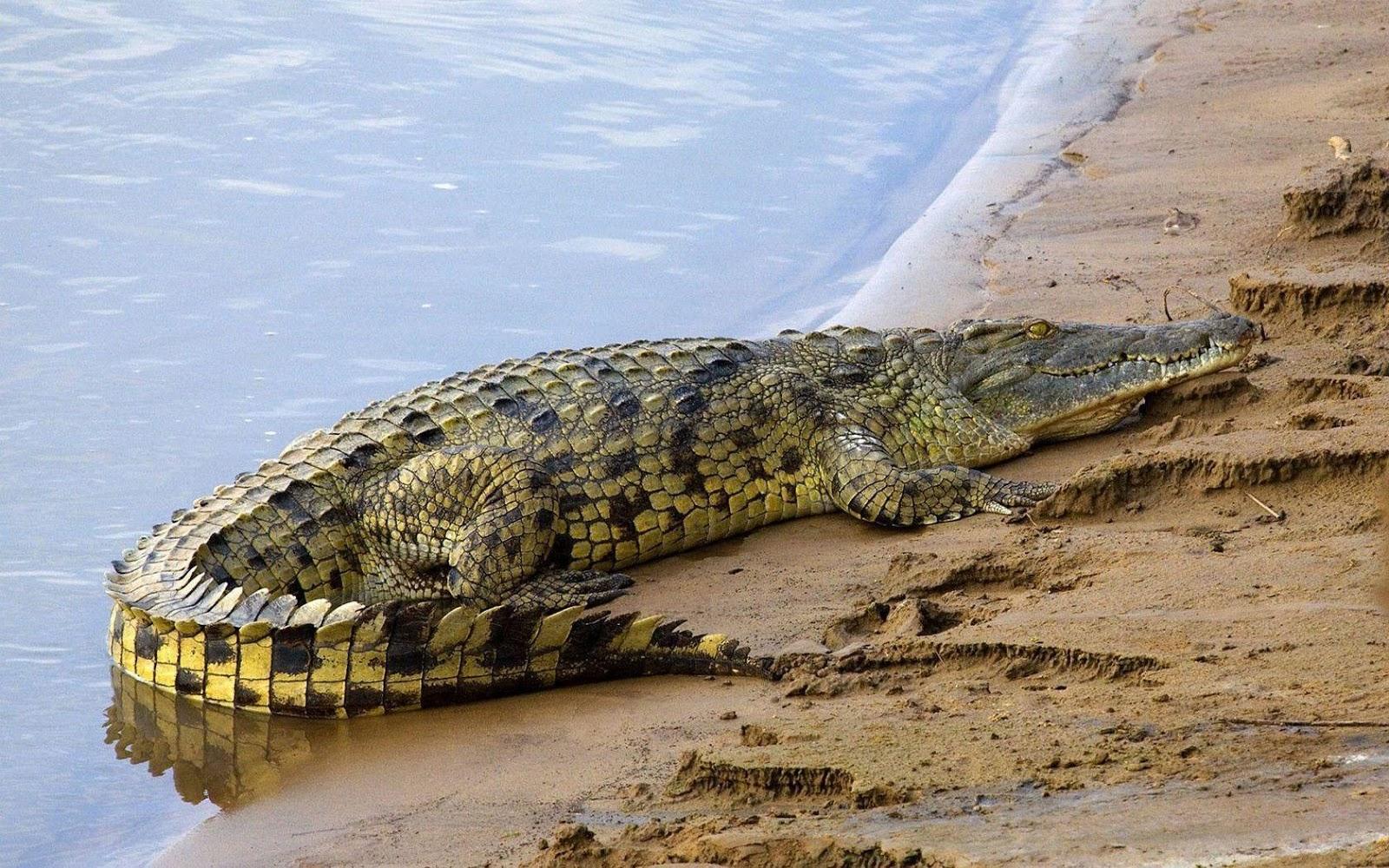 American salt water alligator wallpapers HD