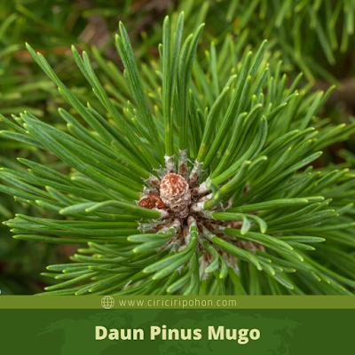 Ciri Ciri Daun Pinus Mugo