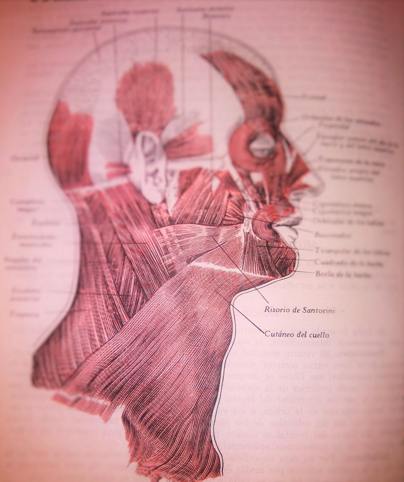 Anatomia Humana: MUSCULOS DEL CUELLO (Region lateral del cuello)