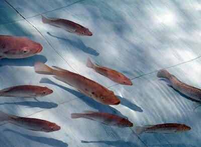 Pemupukan dalam pemeliharaan ikan nila sangat penting untuk kesuburan kolam
