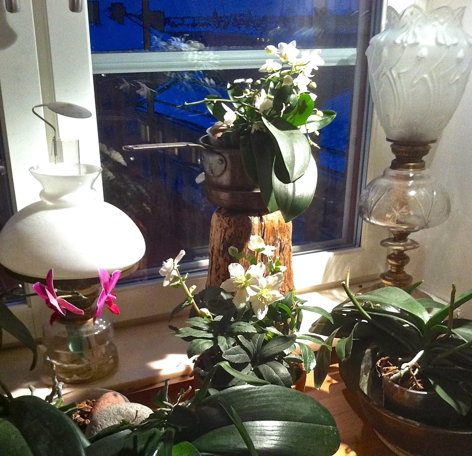 Fagerdala trädgård: Hur ska jag sköta Helleborus?