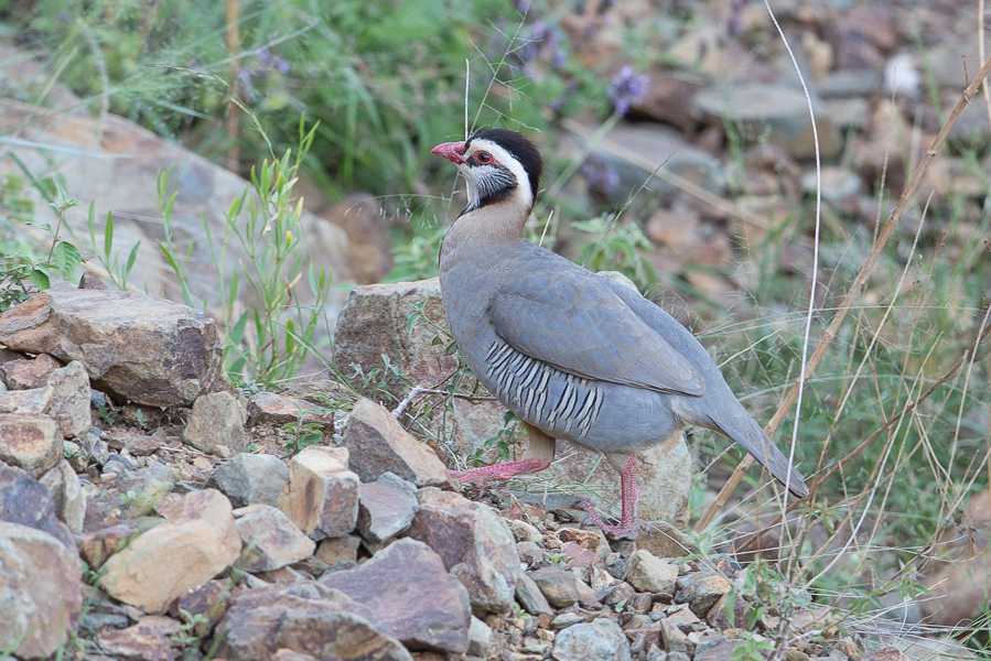 Arabian Partridge