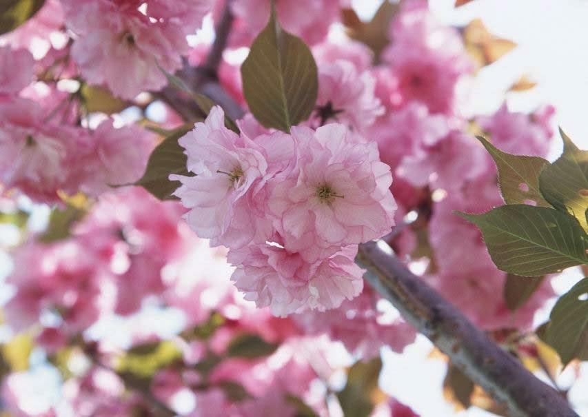 flower-rose-petals-cherry-close-up-image