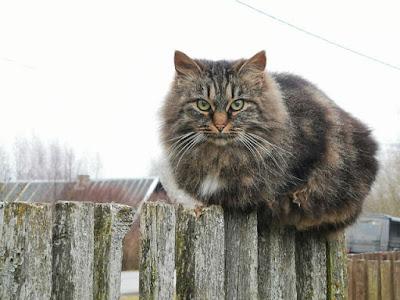 القطط السيبيرية : Siberian Cat
