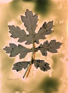 Sue Reno_wet cyanotype_image 874