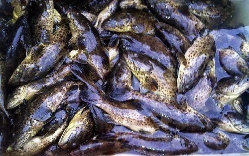 Panen Ikan Kerapu