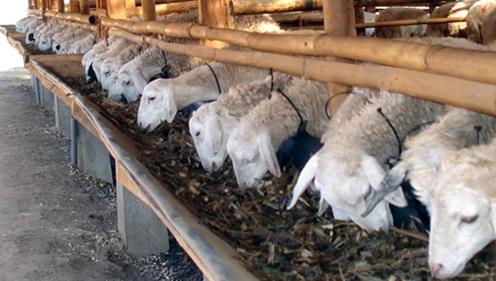 https://carajitumembuatpakanternakfermentasi.blogspot.com/2019/02/obat-penambah-nafsu-makan-ternak-domba.html